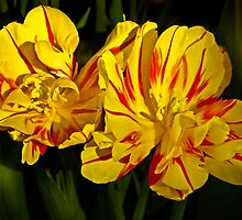 Two Tulips by cclaude