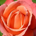 Pink Orange Rose Head by Mike HobsoN