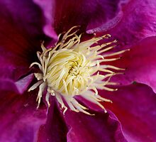 Purple Beauty  clematis center  by Karen  Betts