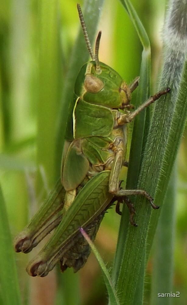 Grasshopper Days by sarnia2