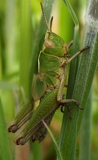 Grasshopper Days by sarnia2