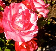 Governor General's Roses 9 by Shulie1