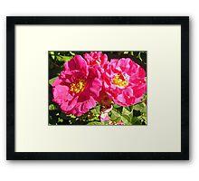 Governor General's Roses 10 Framed Print