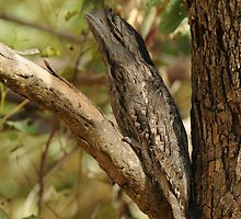 Tawny Frogmouth by Nick Hart