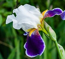 Gentle White and Violet Iris by Yevgeni Kacnelson