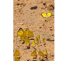 Broad-bordered Grass Yellow Photographic Print