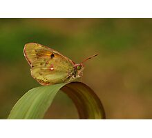 African Clouded Yellow Photographic Print