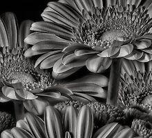 GERBERA DAISY GREY by Rob  Toombs