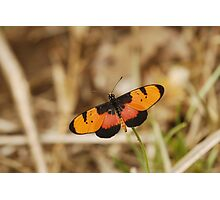 Broad-bordered Acraea Photographic Print