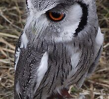 Little Grey Owl by TheShutterbugsG