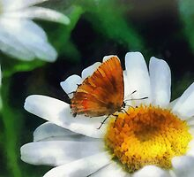 Skipper on a Daisy by Susan Savad