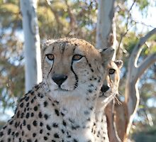 Cheetah paradise by Denzil