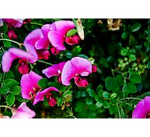 Sweet Pea flower Photographic Print