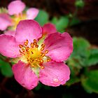 Strawberry Flowers by Jane-in-Colour