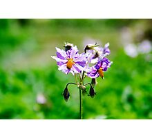 Purple potato flower Photographic Print