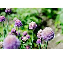 Allium flower Photographic Print