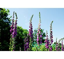 Foxglove flowers Photographic Print