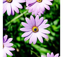Lilac daisy flowers Photographic Print