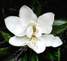 Magnolia Flower by Terry Shoemaker