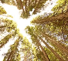 Colorado Rocky Mountain Forest Ceiling by Bo Insogna