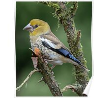 Juvenile Hawfinch Poster
