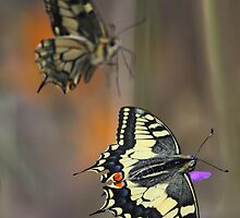 Swallowtails by jimmy hoffman