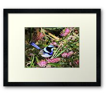 The superb Fairy Wren Framed Print