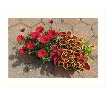 Bright and Beautiful - Crimson Coleus and Cape Daisies Art Print