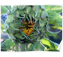 Peek-A Boo ~ Sun Flower Bud Poster