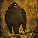 Bronzed Cowbird by Barbara Manis