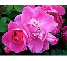 Governor General's Roses11 Photographic Print