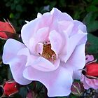 Governor General's Roses 12 by Shulie1