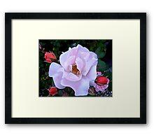 Governor General's Roses 12 Framed Print