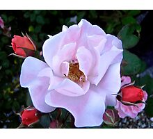Governor General's Roses 12 Photographic Print