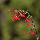 Scarlet Gilia by rjorg