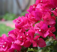 Bougainvillea by NadineH