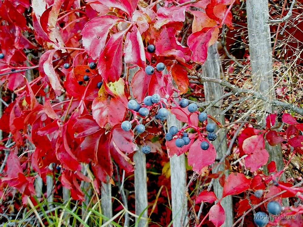 Virginia Creeper Vine in Fall by MotherNature