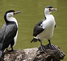 Pied Cormorants by roger smith