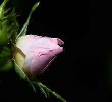 Rose bud in the rain by JanSmithPics