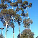 Tall trees  by AmandaWitt
