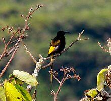 Male golden winged Sunbird - Nectarinia reichenowi  ( non breeding plumage ) - Ngorongoro Tanzania by john  Lenagan