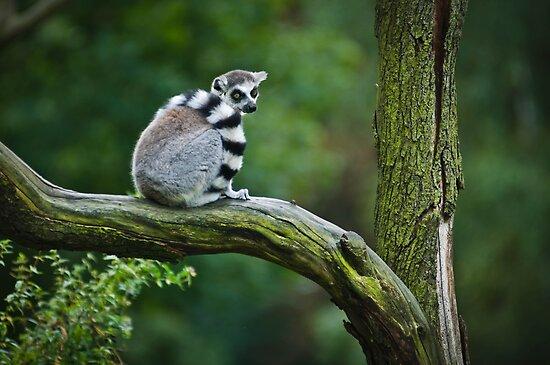 Ring-Tailed Lemur by Monika Nakládalová