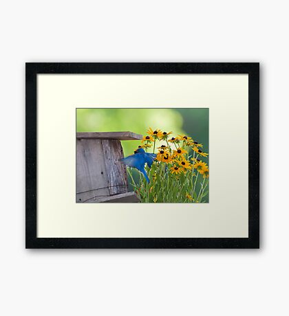 Bluebird flying thru Black Eyed Susans Framed Print