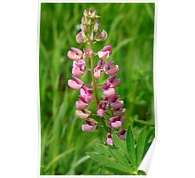 Pink Lupine I Poster
