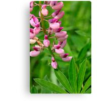 Pink Lupine II Canvas Print