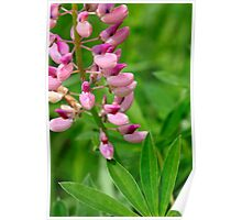Pink Lupine II Poster