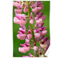 Pink Lupine III Poster