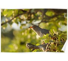 African Cuckoo Poster