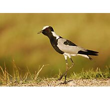 Blacksmith Lapwing Photographic Print