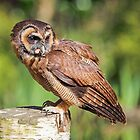 Brown Wood Owl by Mark Hughes